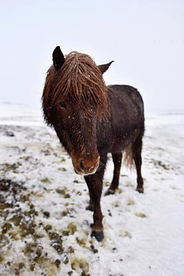 Iceland Horse Wall Art - Photograph - Icelandic Horse by Dr P. Marazzi