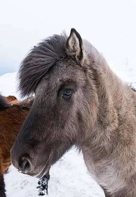 Dun Horse Photograph - Icelandic Horse With Typical Winter Coat by Martin Zwick