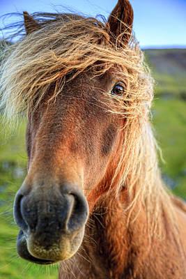 Farm Photograph - Icelandic Pony by Alexey Stiop