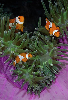 Clownfish Photograph - Indonesia, Raja Ampat by Jaynes Gallery