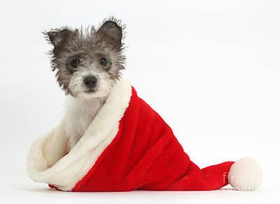 Jack Russell X Westie Pup Wearing Art Print by Mark Taylor