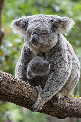 Marsupial Photograph - Koala Mother And Joey Australia by Suzi Eszterhas
