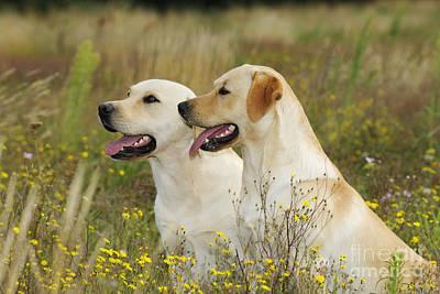 Labrador Retriever Dogs Art Print by John Daniels