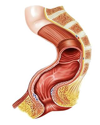 Anal Photograph - Large Intestine by Asklepios Medical Atlas