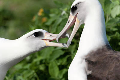 Laysan Albatross (phoebastria Art Print