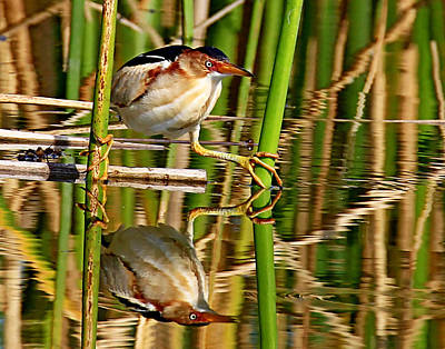 Photograph - Least Bittern by Ira Runyan