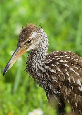 Limpkin Photograph - Limpkin Chick, Aramus Guarana, Viera by Maresa Pryor