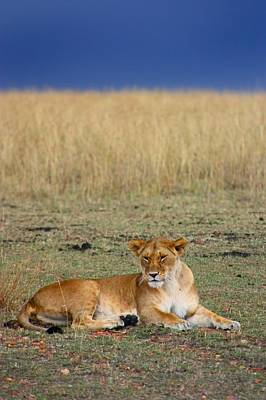 Lion In Waiting Photograph - Lion by Amanda Stadther