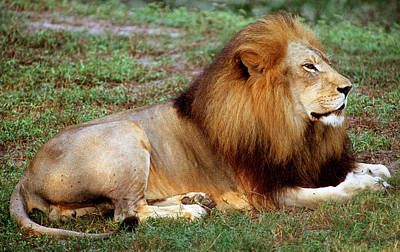 Photograph - Lion by Millard H. Sharp