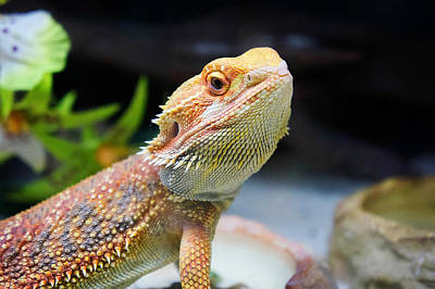 lizard Bearded Dragon Print by Celestial Images