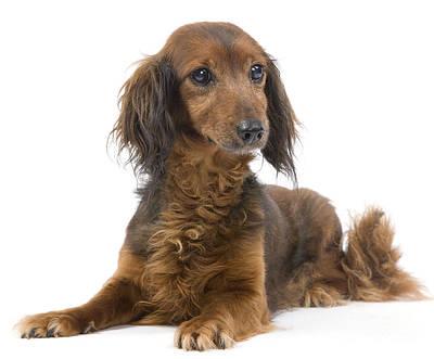 Senior Dog Photograph - Long-haired Dachshund by Jean-Michel Labat