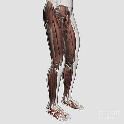 Rectus Femoris Digital Art - Male Muscle Anatomy Of The Human Legs by Stocktrek Images