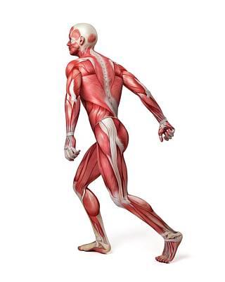 Digitally Generated Image Photograph - Male Muscular System by Sebastian Kaulitzki