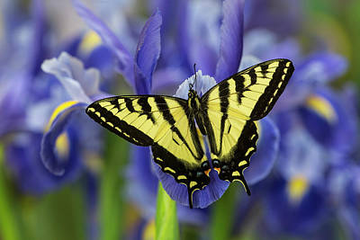 Darrell Gulin Photograph - Male Western Tiger Swallowtail by Darrell Gulin