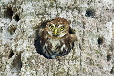 Pygmy Owl Wall Art - Photograph - Mexico, Tamaulipas State by Jaynes Gallery