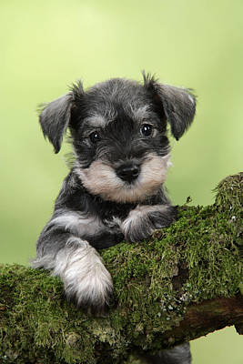 Miniature Schnauzer Puppy Art Print by John Daniels
