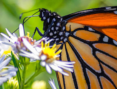 Monarch Butterfly Art Print by Brian Stevens