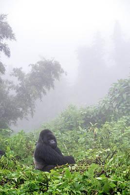 Animal Behavior Photograph - Mountain Gorilla, Gorilla Beringei by Tom Murphy