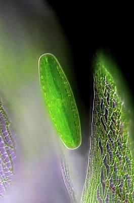 Unicellular Photograph - Netrium Desmid by Marek Mis
