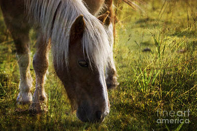 Palomino Foal Photograph - New Forest Pony by Angel  Tarantella