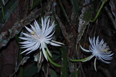 Night Blooming Cactus Art Print by Robert Floyd