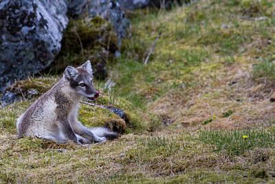 Arctic Fox Photograph - Norway, Svalbard, Prins Karls Forland by Jaynes Gallery