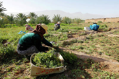 Moroccan Photograph - Oasis Maintenance by Thierry Berrod, Mona Lisa Production