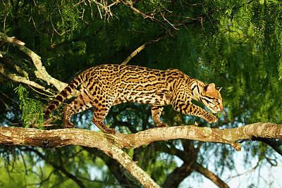 Mesquite Tree Photograph - Ocelot (felis Pardalis by Larry Ditto