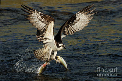 Wild Trout Photograph - Osprey Catching Trout by Scott Linstead