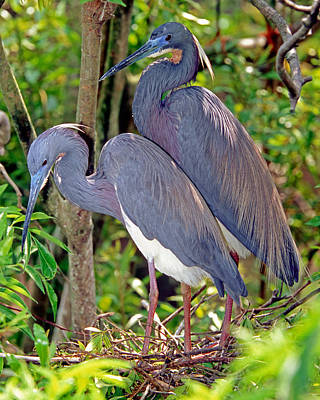 Photograph - Pair Of Tricolored Heron At Nest by Millard H. Sharp
