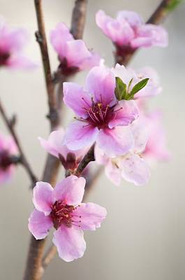 Peach (prunus Persica) Art Print