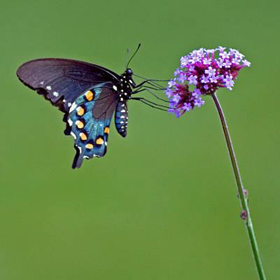 Photograph - Pipevine Swallowtail Butterfly by Karen Adams