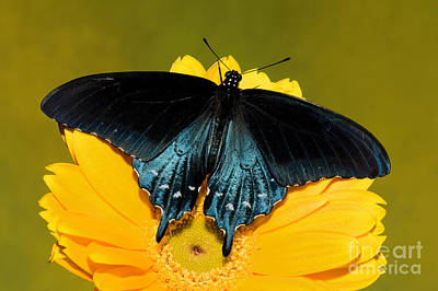 Blue Swallowtail Photograph - Pipevine Swallowtail Butterfly by Millard H. Sharp