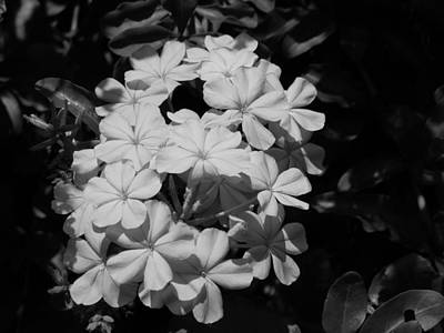 Photograph - Plumbago by Ron Davidson