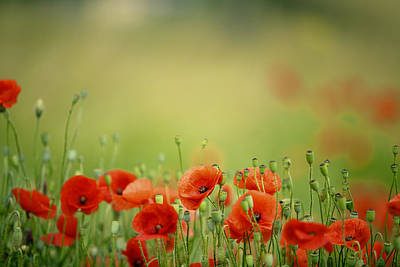 Photograph - Poppy Meadow by Nailia Schwarz