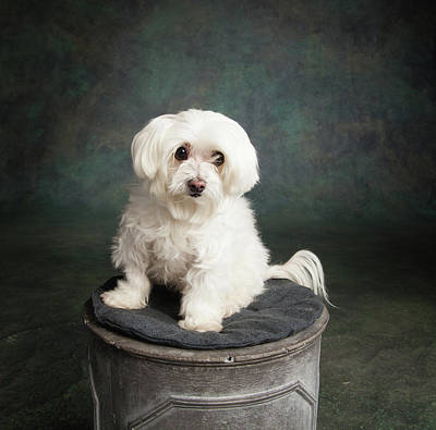 Maltese Photograph - Portrait Of A Maltese Dog by Animal Images