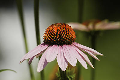 Photograph - Purple Cone Flower - Echinacea by Keith Webber Jr