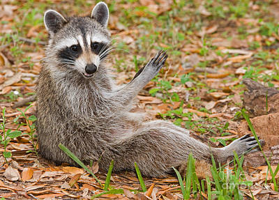 Raccoon Art Print by Millard H. Sharp