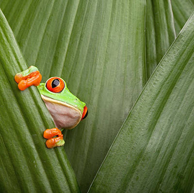 Hiding Photograph - Red Eyed Tree Frog  by Dirk Ercken