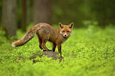 Photograph - Red Fox by Milan Zygmunt