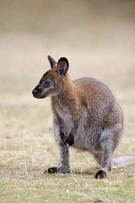 Red-necked Wallaby, Subspecies Art Print by Martin Zwick