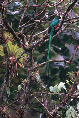 Resplendent Quetzal Print by Art Wolfe