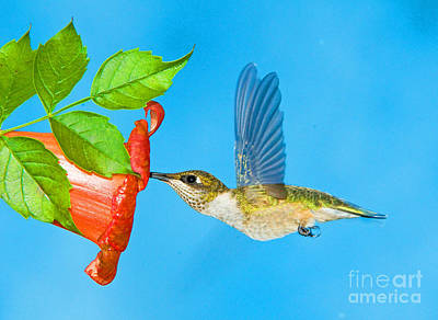 Photograph - Ruby Throated Hummingbird Female by Millard H Sharp