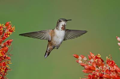 Rufous Hummingbird Art Print by Anthony Mercieca