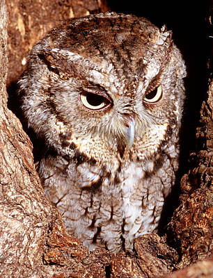 Photograph - Screech Owl by Millard H. Sharp