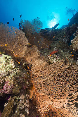 Sea Fan And Tropical Reef In The Red Sea. Art Print by Stephan Kerkhofs