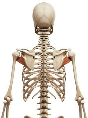 Shoulder Muscles Art Print