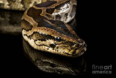 Snake Art Print by Gunnar Orn Arnason