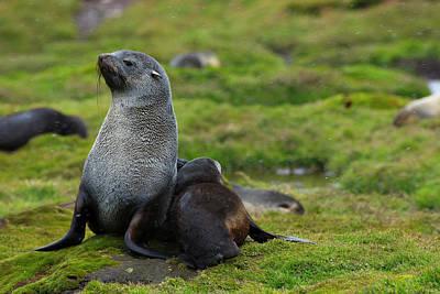 Fur Seal Photograph - South Georgia Antarctic Fur Seal by Inger Hogstrom