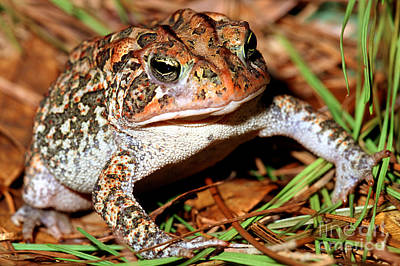 Amphibia Photograph - Southern Toad Bufo Terrestris by Millard H. Sharp